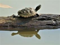 Pequeña tortuga linda que se relaja en un tronco de árbol en un jardín del lago imagenes de archivo
