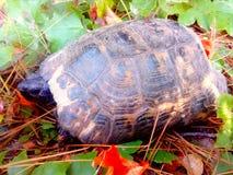Pequeña tortuga marrón Fotografía de archivo