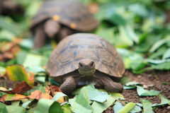 Pequeña tortuga que se arrastra, las Islas Gal3apagos del bebé Fotografía de archivo libre de regalías