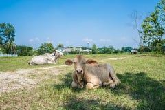 Pequeña vaca Imágenes de archivo libres de regalías