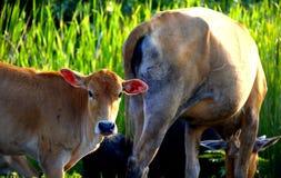 Pequeña vaca Imagen de archivo libre de regalías