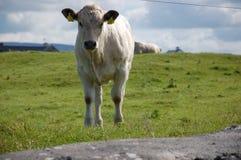 Pequeña vaca a lo largo del camino Foto de archivo