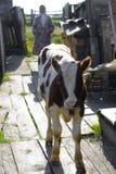 Pequeña vaca marrón y blanca Fotografía de archivo libre de regalías