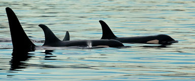 Pequeña vaina de orcas imagen de archivo