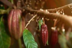 Pequeña vaina del rojo del cacao Fotografía de archivo libre de regalías
