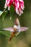 Pequeña Volcano Hummingbird foto de archivo