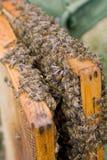 Pequeñas abejas Imagenes de archivo