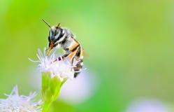 Pequeñas abejas. Limpie las piernas y la boca en la cabra Weed fotos de archivo