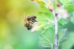 Pequeñas abejas que vuelan sobre ramas florecientes Imagen de archivo libre de regalías