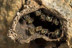 Pequeñas abejas sin aguijón en la entrada a su colmena Imagen de archivo libre de regalías