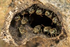 Pequeñas abejas sin aguijón en la entrada a su colmena Fotografía de archivo libre de regalías
