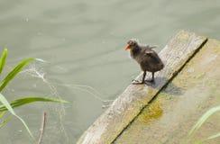 Polluelo de la focha que agita las pequeñas alas al borde del puente Fotos de archivo