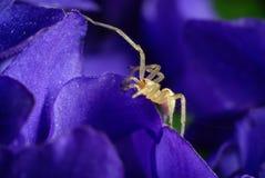Pequeñas araña y violeta. Fotos de archivo