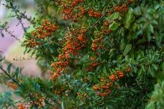Pequeñas bayas anaranjadas con las hojas verdes Bayas del otoño del espino Foco suave imagen de archivo