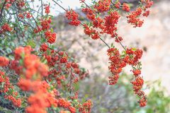 Pequeñas bayas rojas con las hojas verdes Fondo borroso naturaleza Profundidad del campo baja Imagen entonada imágenes de archivo libres de regalías