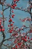 Pequeñas bayas salvajes rojas Fotos de archivo libres de regalías