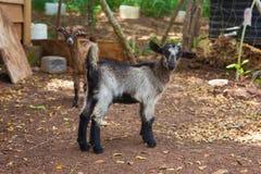 Pequeñas cabras Fotografía de archivo