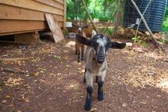 Pequeñas cabras Foto de archivo libre de regalías