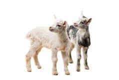 pequeñas cabras aisladas Fotos de archivo