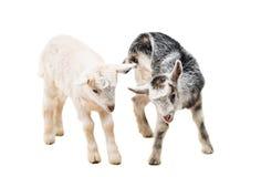 pequeñas cabras aisladas Imagenes de archivo