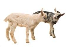 pequeñas cabras aisladas Fotografía de archivo