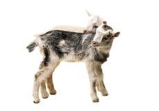 pequeñas cabras aisladas Foto de archivo