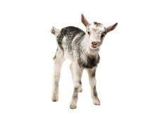 pequeñas cabras aisladas Fotografía de archivo libre de regalías