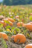 Pequeñas calabazas anaranjadas que crecen en campo, anaranjado y listo para har Imagen de archivo