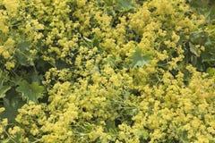 Pequeñas flores amarillas Foto de archivo