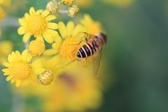 Pequeñas flores amarillas de la margarita con una abeja Fotos de archivo