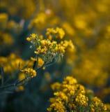 Pequeñas flores amarillas de los saxatilis del aurinia en el tiempo de primavera Imagen de archivo