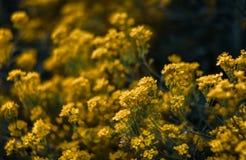 Pequeñas flores amarillas de los saxatilis del aurinia en el tiempo de primavera Fotografía de archivo libre de regalías