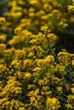 Pequeñas flores amarillas de los saxatilis del aurinia en el tiempo de primavera Foto de archivo libre de regalías