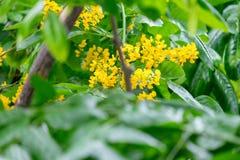 Pequeñas flores amarillas de un ramo de flores y de abejas en el árbol Foto de archivo libre de regalías