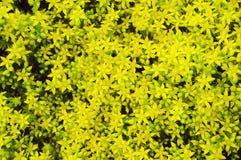 Pequeñas flores amarillas del verano Fondo Imagen de archivo