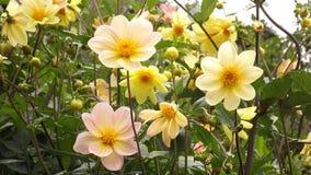 Pequeñas flores amarillas en campo foto de archivo libre de regalías