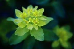 Pequeñas flores amarillas en el jardín Imagen de archivo