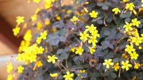 Pequeñas flores amarillas en una maceta almacen de video