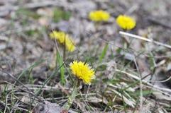 Pequeñas flores amarillas madre y floración de la madrastra Fotografía de archivo libre de regalías