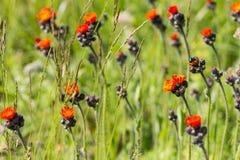 Pequeñas flores anaranjadas hermosas en un fondo verde Fotografía de archivo libre de regalías