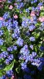 Pequeñas flores azules Fotografía de archivo