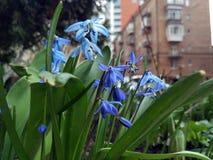 Pequeñas flores azules, calle de la ciudad Imagen de archivo libre de regalías