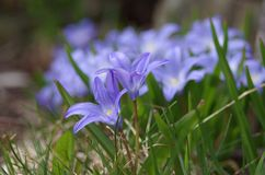 Pequeñas flores azules en los gras imagen de archivo