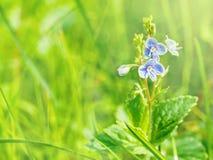 Pequeñas flores azules en un campo verde claro en un día de verano soleado Fotografía de archivo libre de regalías