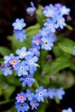 Pequeñas flores azules hermosas contra la perspectiva de las hojas verdes Imagenes de archivo