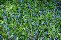 Pequeñas flores azules spreed hacia fuera Foto de archivo libre de regalías
