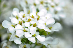Pequeñas flores blancas fotos de archivo libres de regalías