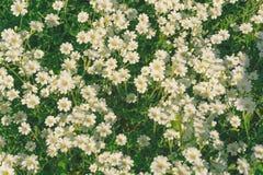 Pequeñas flores blancas Fotos de archivo