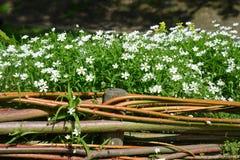 Pequeñas flores blancas con la cerca hecha de ramitas Imagen de archivo