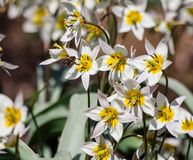 Pequeñas flores blancas con seis pétalos, un corazón amarillo Imágenes de archivo libres de regalías